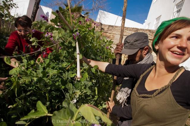 Arreglando la plantación de guisantes